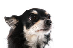 Head of black Chihuahua Stock Image