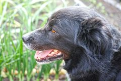 Head of a black dog Royalty Free Stock Image