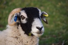 Head of black faced sheep, eating grass royalty free stock photo
