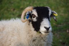 Head of black faced sheep, eating grass royalty free stock images