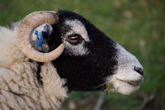 Head of black faced sheep, eating grass royalty free stock image