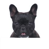 Head of a black french bulldog Royalty Free Stock Photos