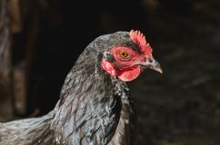 Head of a black hen with a red comb on the background of a barn royalty free stock photography