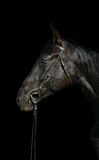 Head of black horse Stock Photography