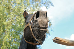 Head of a black horse, bottom view. Royalty Free Stock Image