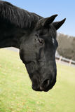 Head of black horse. Close up portrait of black horse outdoors Royalty Free Stock Image