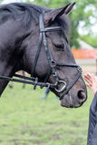 Head of black horse Royalty Free Stock Photos