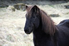 Head of black Icelandic horse. Head of dark brown Icelandic horse Stock Photography