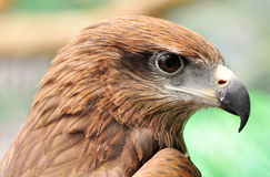 Head of Black Kite Stock Images