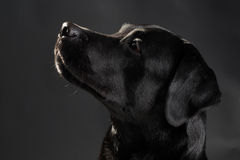Head of black labrador dog Royalty Free Stock Images