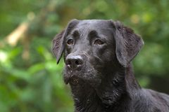 Head of a black labrador Stock Image