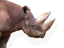 Head of Black Rhinoceros (Diceros bicornis) Stock Image