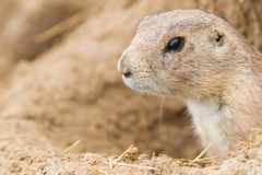 Head of a black-tailed prairie dog Stock Image
