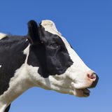 Head of black and white cow Royalty Free Stock Images