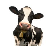 Head of black and white cow. (bos primigenius taurus) with cowbell isolated on white background royalty free stock photo