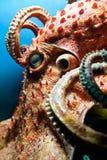 head bläckfisk Arkivfoton