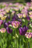 A head of blooming colorful tulip in a garden, spring time in Po Stock Photos