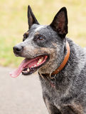 Head of Blue Cattle Dog Stock Photos