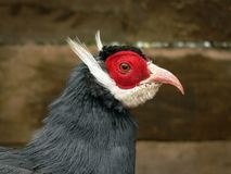 Head of a Blue Eared-Pheasant Royalty Free Stock Image