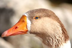 Head of a Blue-Eyed Goose Stock Images