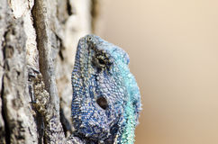 Head of blue headed lizard. Close-up of the head of a blue headed lizard on a tree stump Stock Photo