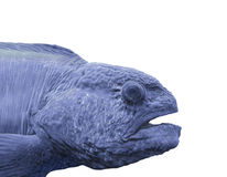Head of a blue ocean fish isolated. Stock Image