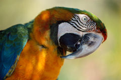 Head of a blue and orange parrot. Blue and orange Parrot tilting his head to have a better look Stock Photo