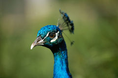 Head of blue peacock. Close view of the head of blue peacock Stock Photography