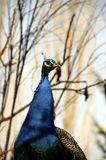Head of a blue peacock Royalty Free Stock Images