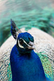Head of blue peacock Stock Images