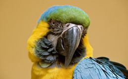 Head of a blue and yellow macaw Royalty Free Stock Images
