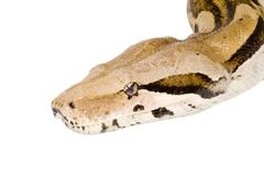 Head of a Boa Royalty Free Stock Image