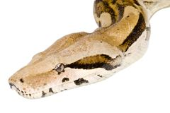 Head of a Boa Royalty Free Stock Photo