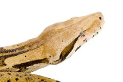 Head of a Boa Stock Image