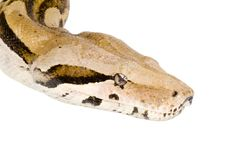 Head of a Boa Stock Images