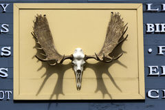 Head bone of a moose. A head bone of a moose with horns mounted on a board Royalty Free Stock Image