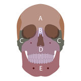 Head bones Stock Photo