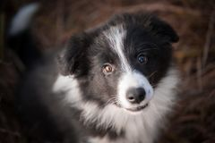 Head of border collie in field stock photography