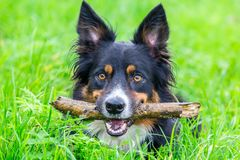 Head border collie with stick in beak Royalty Free Stock Photography