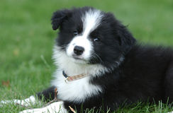 Head of a border collie puppy Royalty Free Stock Image