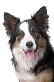 Head of border collie sheepdog Stock Photos