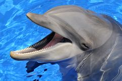 Head of bottlenose dolphin. (Tursiops truncatus) with an open mouth in the blue water royalty free stock image