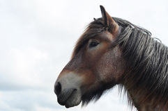 Head of brabant draft horse Royalty Free Stock Images
