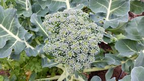 Head of broccoli ready to be harvested Stock Image