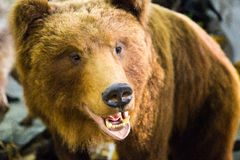 The head of a brown bear with bared teeth. Bear`s head with bared teeth stock image