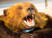 The head of a brown bear with bared teeth. Bear`s head with bared teeth ,scarecrow Stock Photo