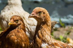 Head brown chicken close up Royalty Free Stock Images