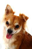 Head of brown chiuahua Stock Images