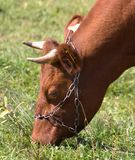 Head of the brown cow Royalty Free Stock Image
