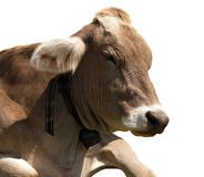Head of brown cow (bos primigenius taurus) with cowbell Royalty Free Stock Photos
